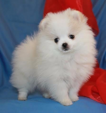 Pomeranian Toy Pom Puppies For Sale Kusa Registered Vereeniging Gumtree South Africa 163993704 Pomeranian Puppy For Sale Puppies Pet Dogs Puppies