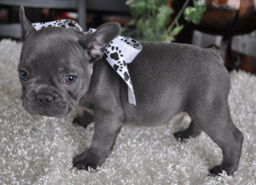 Blue French Bulldog Puppy Puppies Pinterest Blue