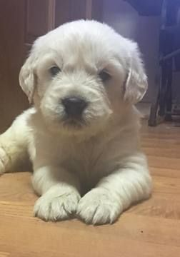 Litter Of 4 Golden Retriever Puppies For Sale In Shelby Nc Adn