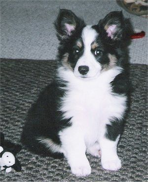 Doc The Augi Aussie Corgi Hybrid At 2 Months Old This Is