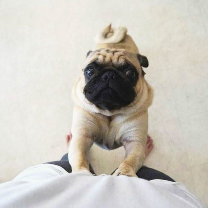 Feed Me Human Cute Pugs Pugs Pugs Kisses