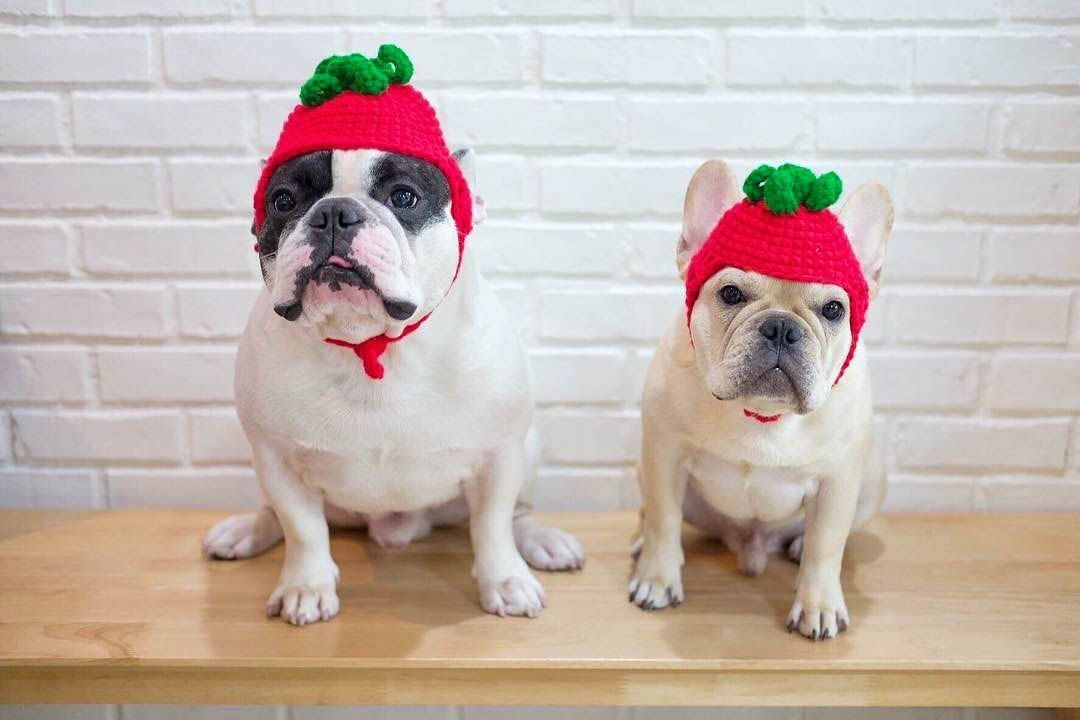 Our Hooman Just Loves Strawberry Do You Too Yesno Tag A Strawberry Lover Follow Monkoodog Or Tag Mon With Images Dog Christmas Photos Cute Dog Pictures Dog Photos