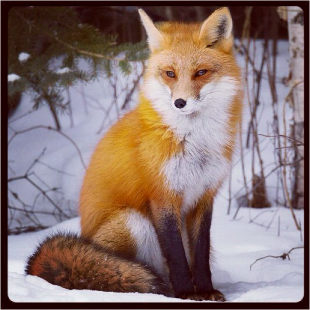 A fox went out on a chilly night...