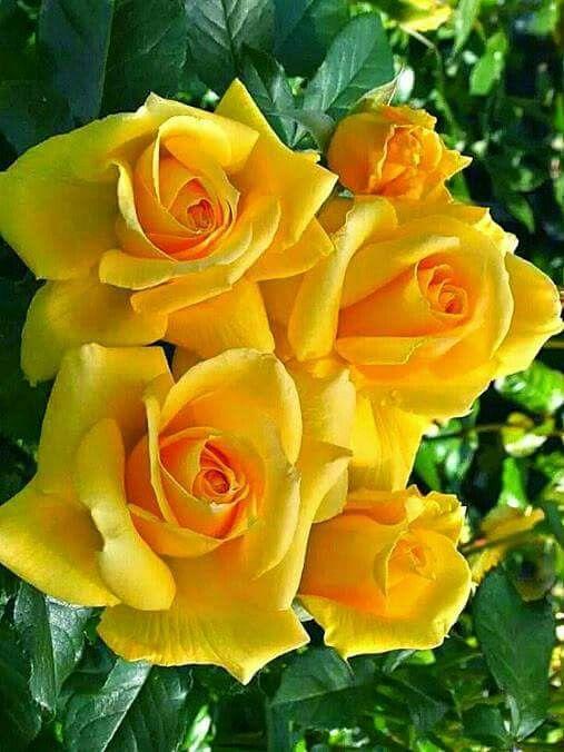 Rosas amarelas | Rosas amarelas | Yellow roses, Flowers, Beautiful roses