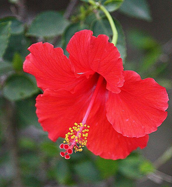 Hibiscus Common Name Rose Mallow Chaba Thai Kembang Sepatu Indonesian Purple Hibiscus Hibiscus Flowers Pretty Flowers