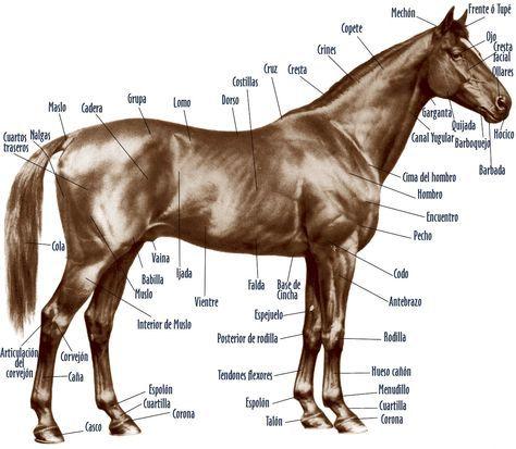 anatomia del caballo - Buscar con Google | caballo | Pinterest ...