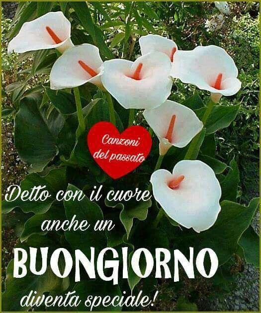 Fiori Bianchi Canzone.Pin Di Desiree Dessi Su Buongiorno Fiori Zantedeschia