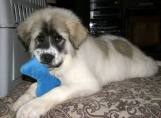 St Bernard Mixed With Great Pyrenees Great Pyrenees Super Cute