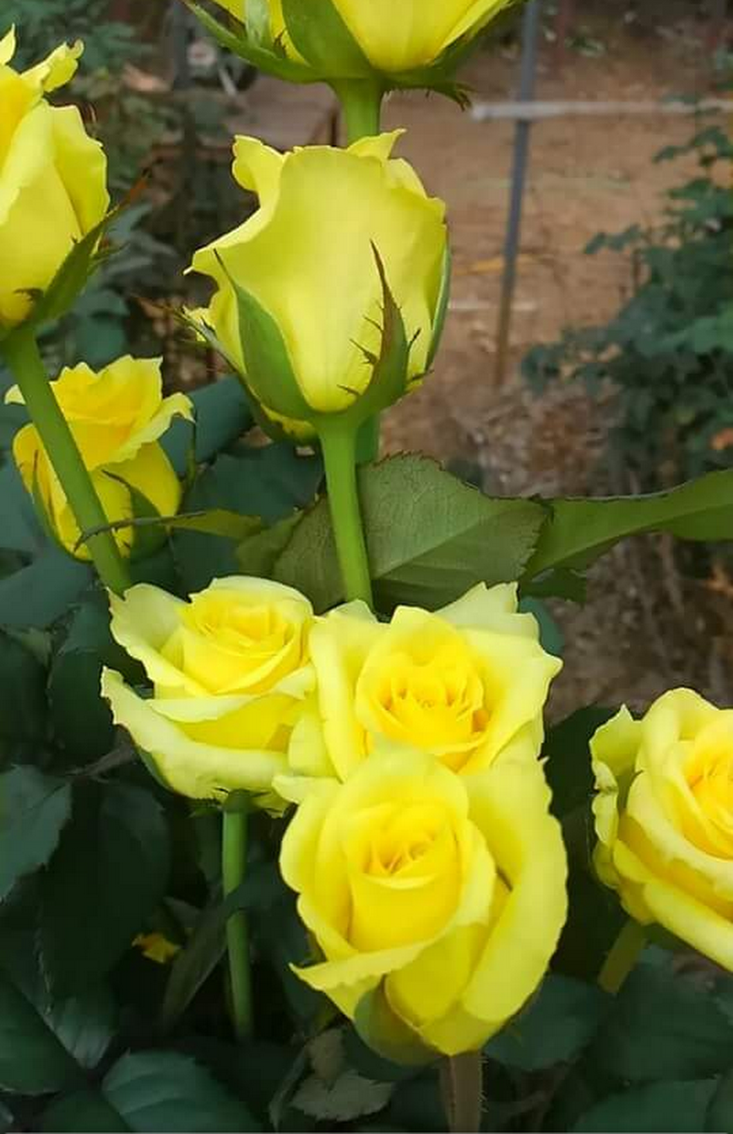 Beauty nature yellowflowers photography rose rajan anand beauty nature yellowflowers photography rose rajan anand google izmirmasajfo