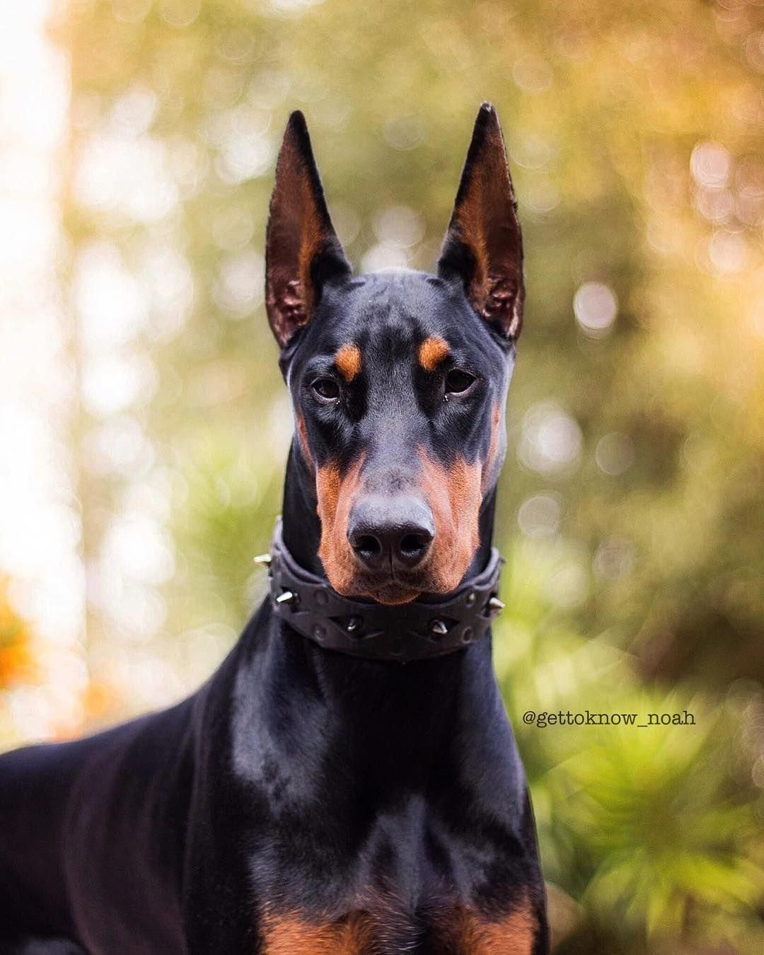 Find Out More On The Fearless Doberman Dogs Personality