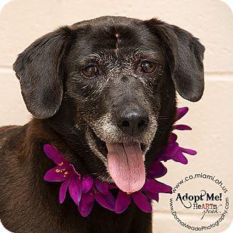 Troy Oh Labrador Retriever Mix Meet Ariel A Dog For Adoption Http Www Adoptapet Com Pet 13469700 Troy O Dog Adoption Labrador Retriever Kitten Adoption