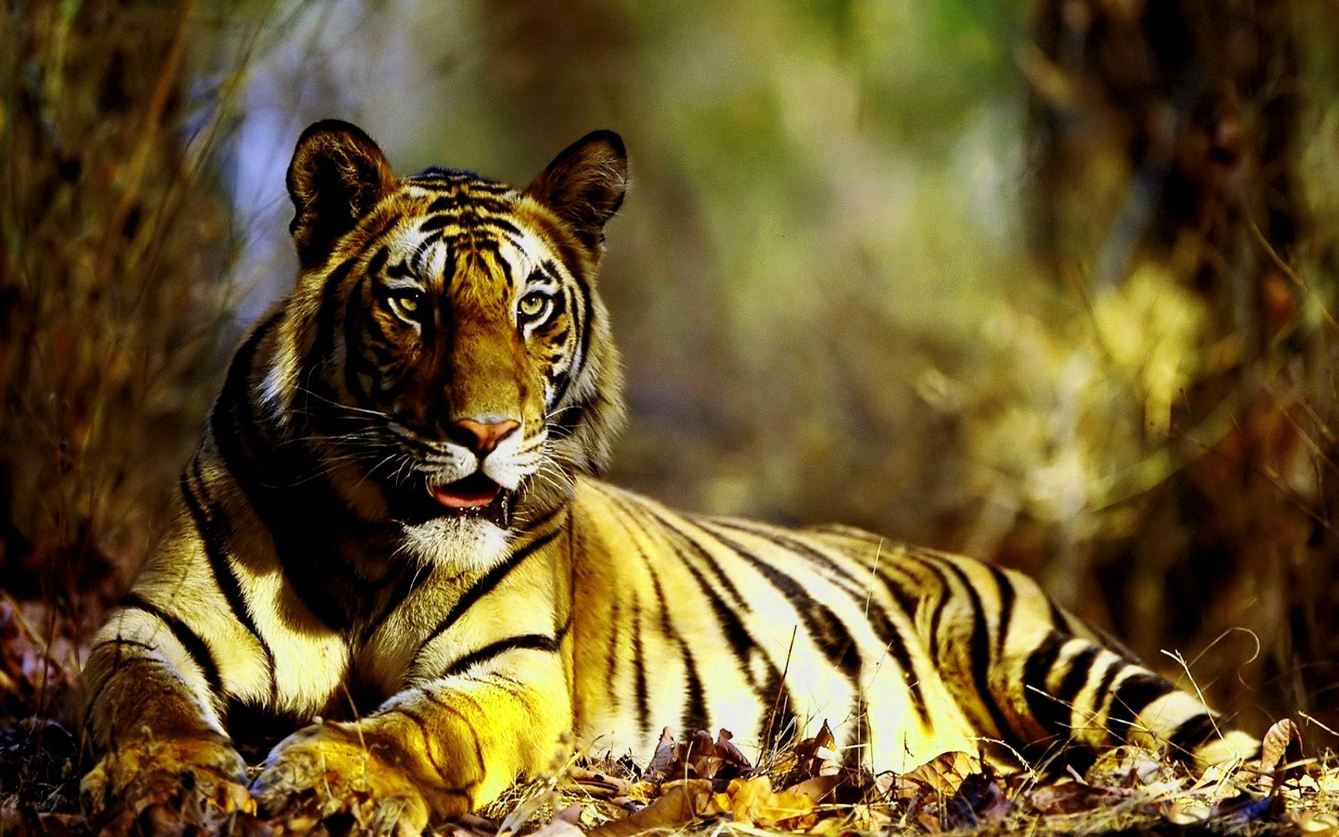 Hd Photos Of Tigers Blogua Free Ultra Hd 3840x2160 High Definition Wallpaper High Definition Background 4k Wall Tiger Photo Tiger Hd Wallpapers Tiger Hd