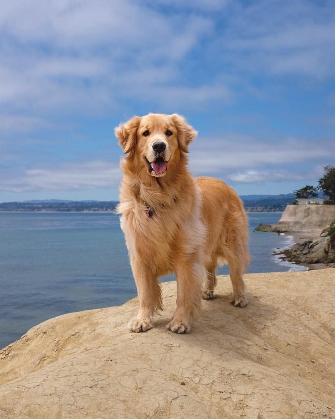 Sweet Goldenretriever Am Meer Hund Hunde Buddyandbello Buddybello Urlaubmithund Cute Dog Mit Bildern Hunde Hunderassen Hundebilder