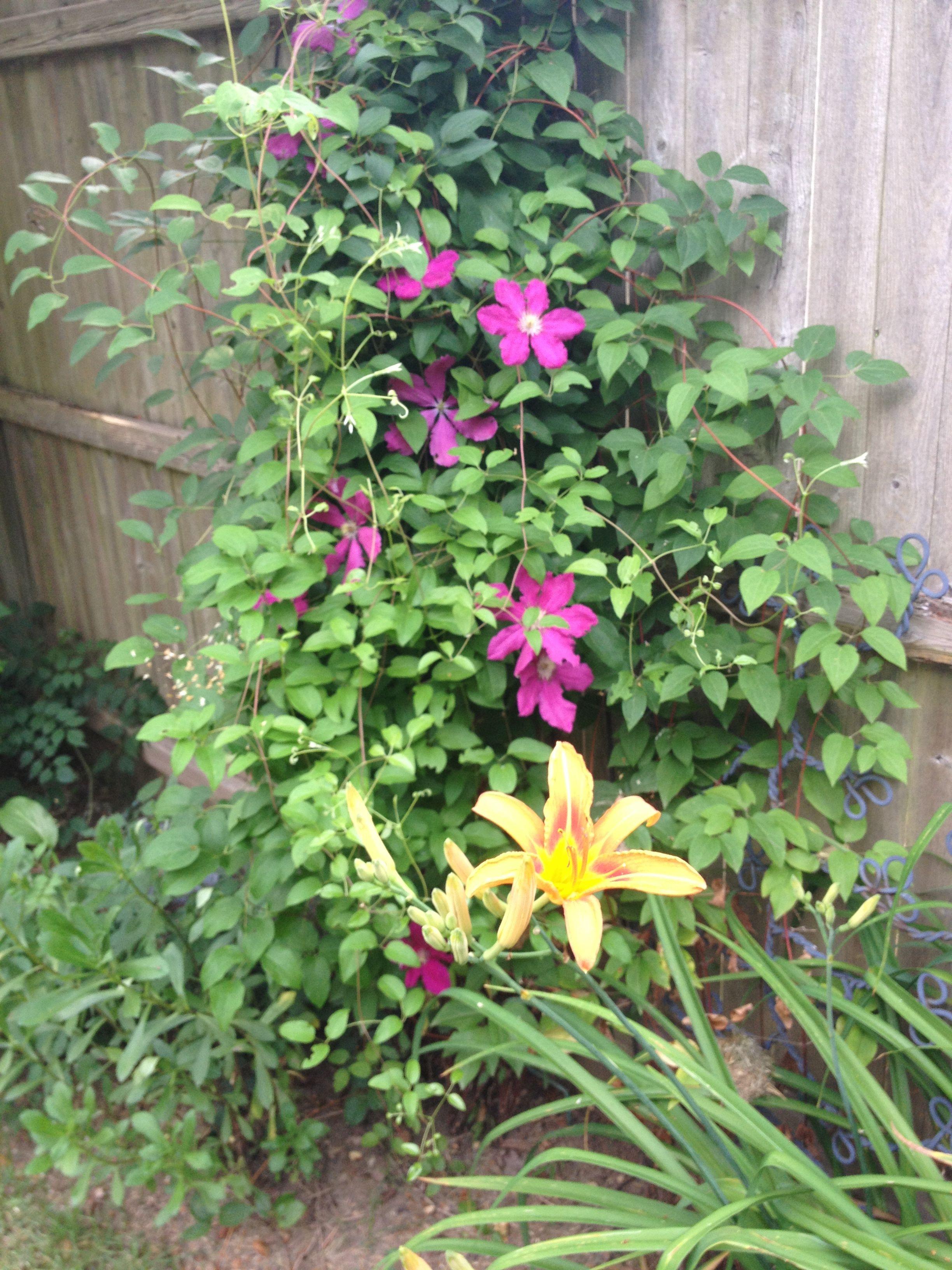 Side Clematis Clematis Plants Garden