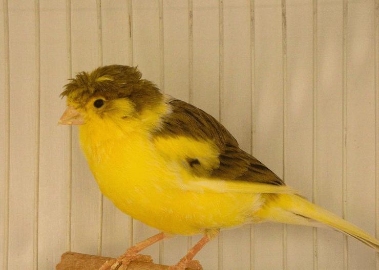 Mengenal Berbagai Karakter Dasar Burung Kenari Burung Kenari Jalak