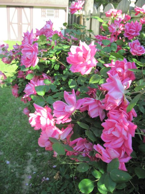 Roses In Garden: One Of The Easiest Rose Bushes To