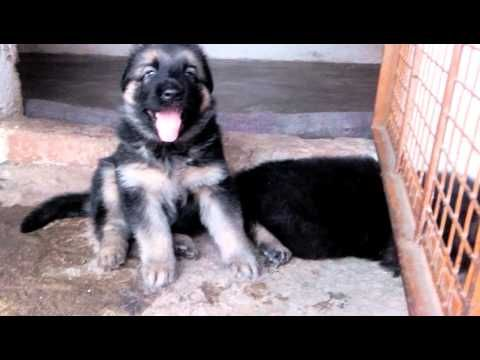 Free German Shepherd Puppies Available For Adoption Male And Female Good With Images Gsd Puppies German Shepherd Puppies German Shepherd