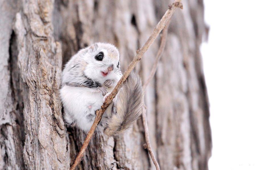 Russian Flying Squirrel