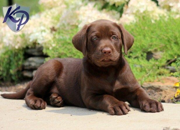 Labrador Bambini ~ 108 best black lab images on pinterest black labrador retriever