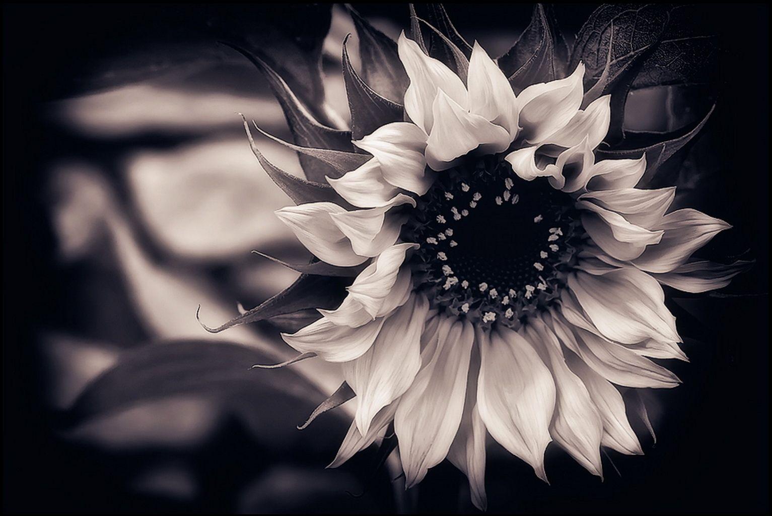 Black And White Sunflower