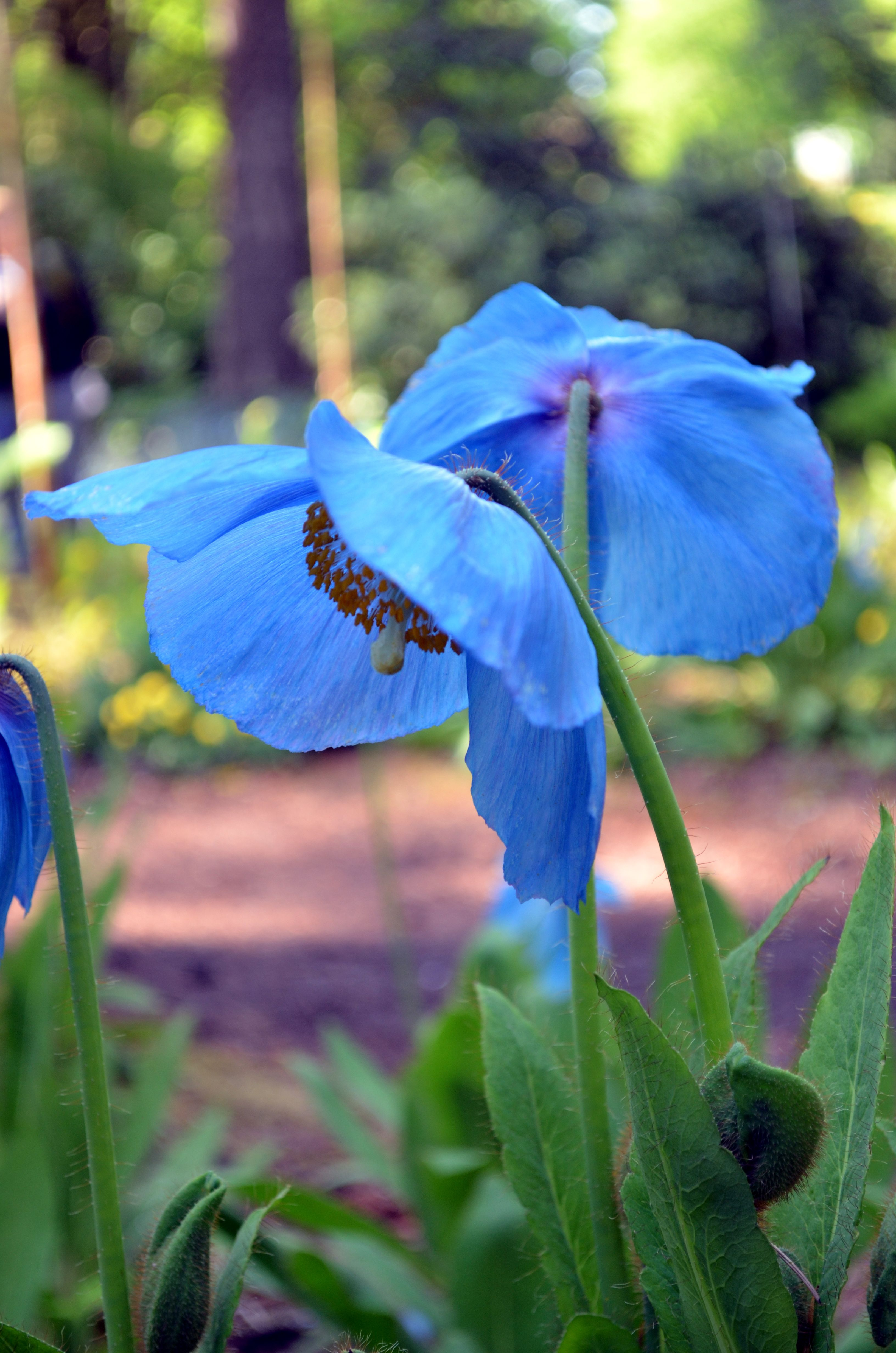 Meconopsis Lingholm Himalayan Blue Poppy Flowers Flowers
