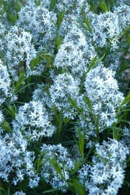 Amsonia Hubrichtii Plants Perennial Plants