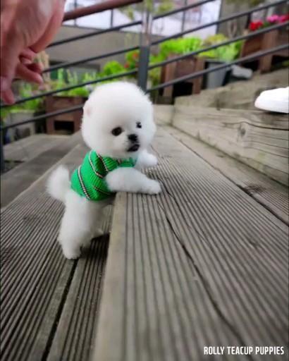 So Cute Tiny Pomeranian Boy Zeus Video In 2020 Cute Animals Cute Baby Animals Cute Baby Dogs