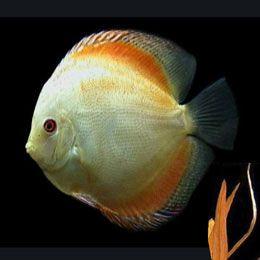discus fishdiscount