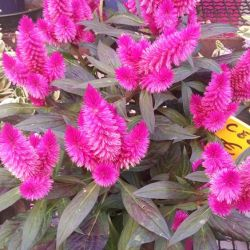 Celosia Plant How To Grow Care In 2020 Celosia Plant Plants Plant Pictures