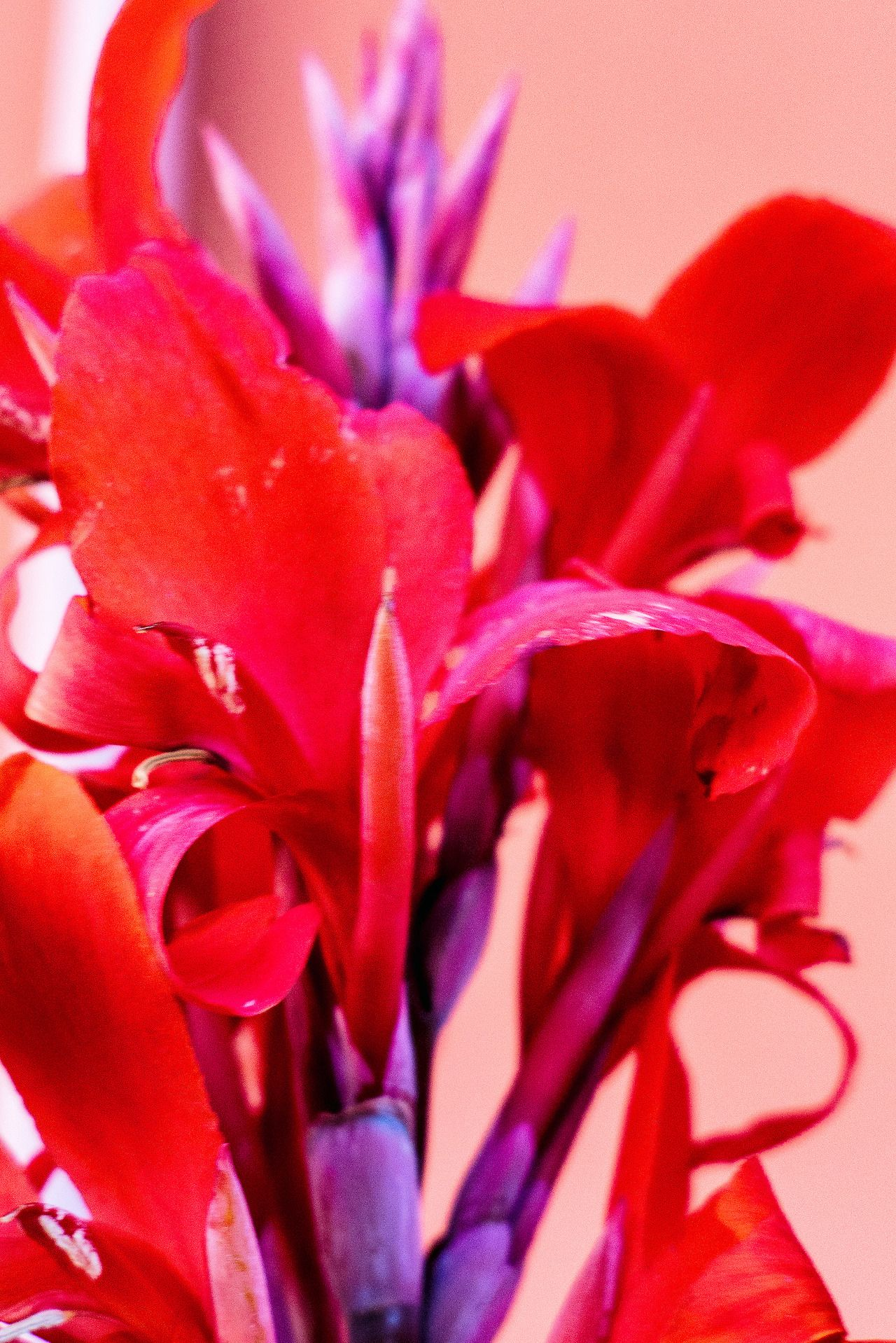 Red from purple stems | ✿ Purple + Red | Pinterest | Red purple ...