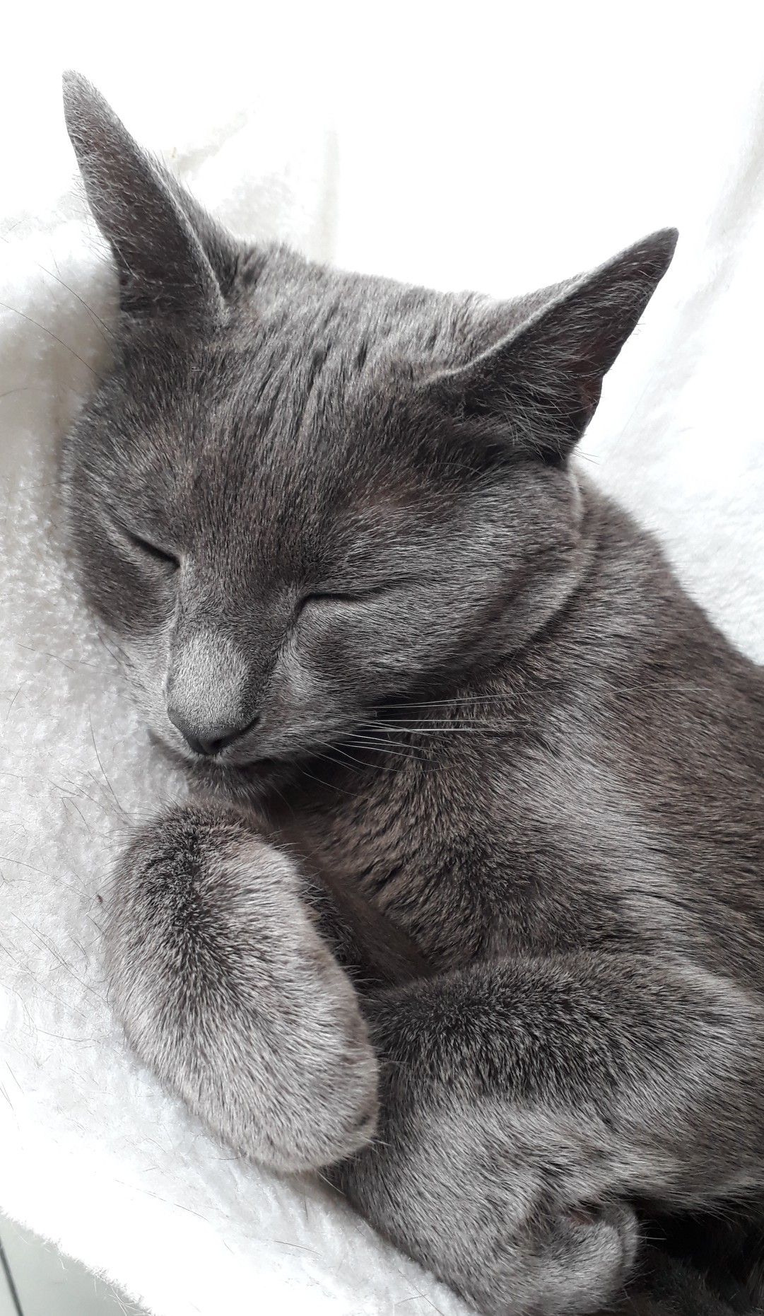 Pin By Reeta Grant On Gorgeous Grey Cats Cat Breeds Cute