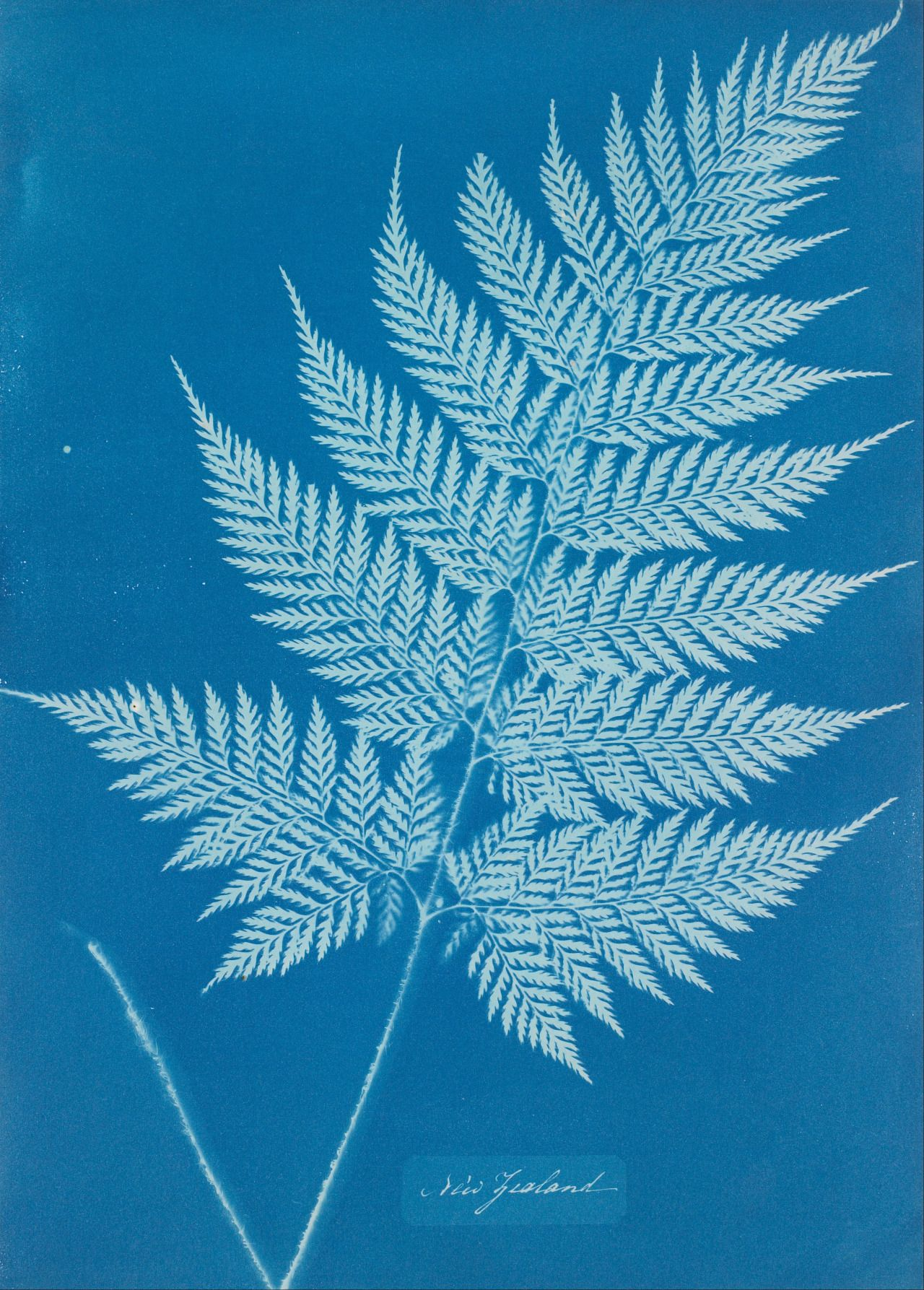 This is by Anna Atkins, one of the first female photographers. This is an example of what is called a cyanotype.