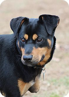 Prince Frederick Md Labrador Retriever Rottweiler Mix Meet