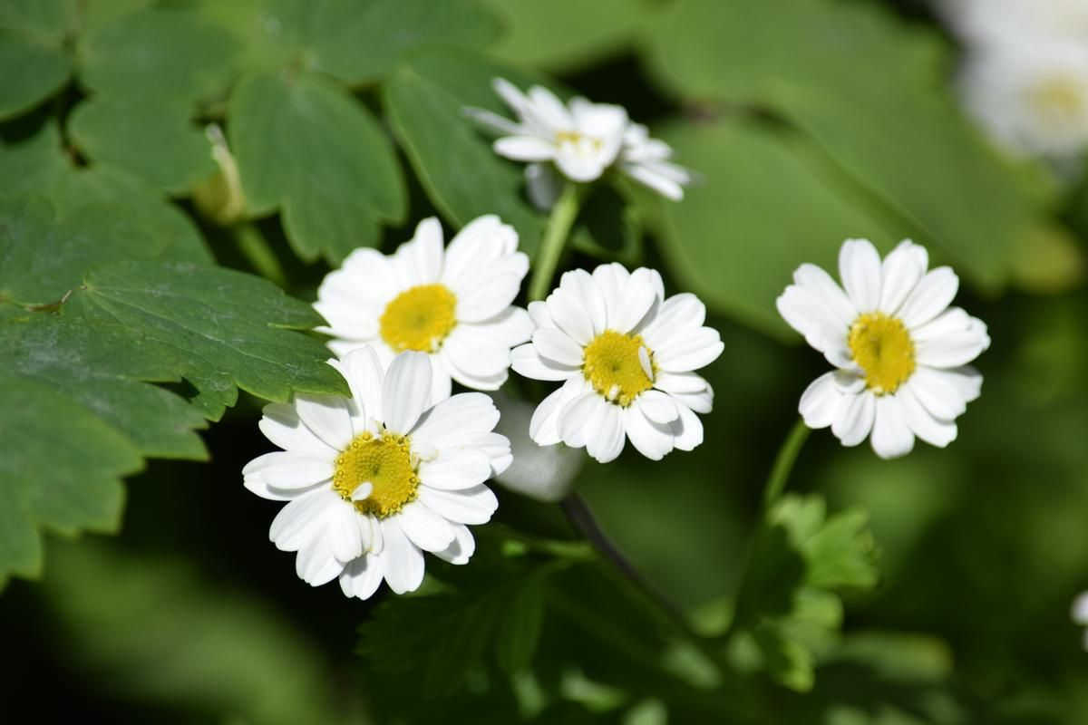 Feverfew Tea Has Immense Health Benefits And Is Mostly Associated With Relieving Migraine Headaches This Feverfew How To Relieve Migraines Migraine Headaches