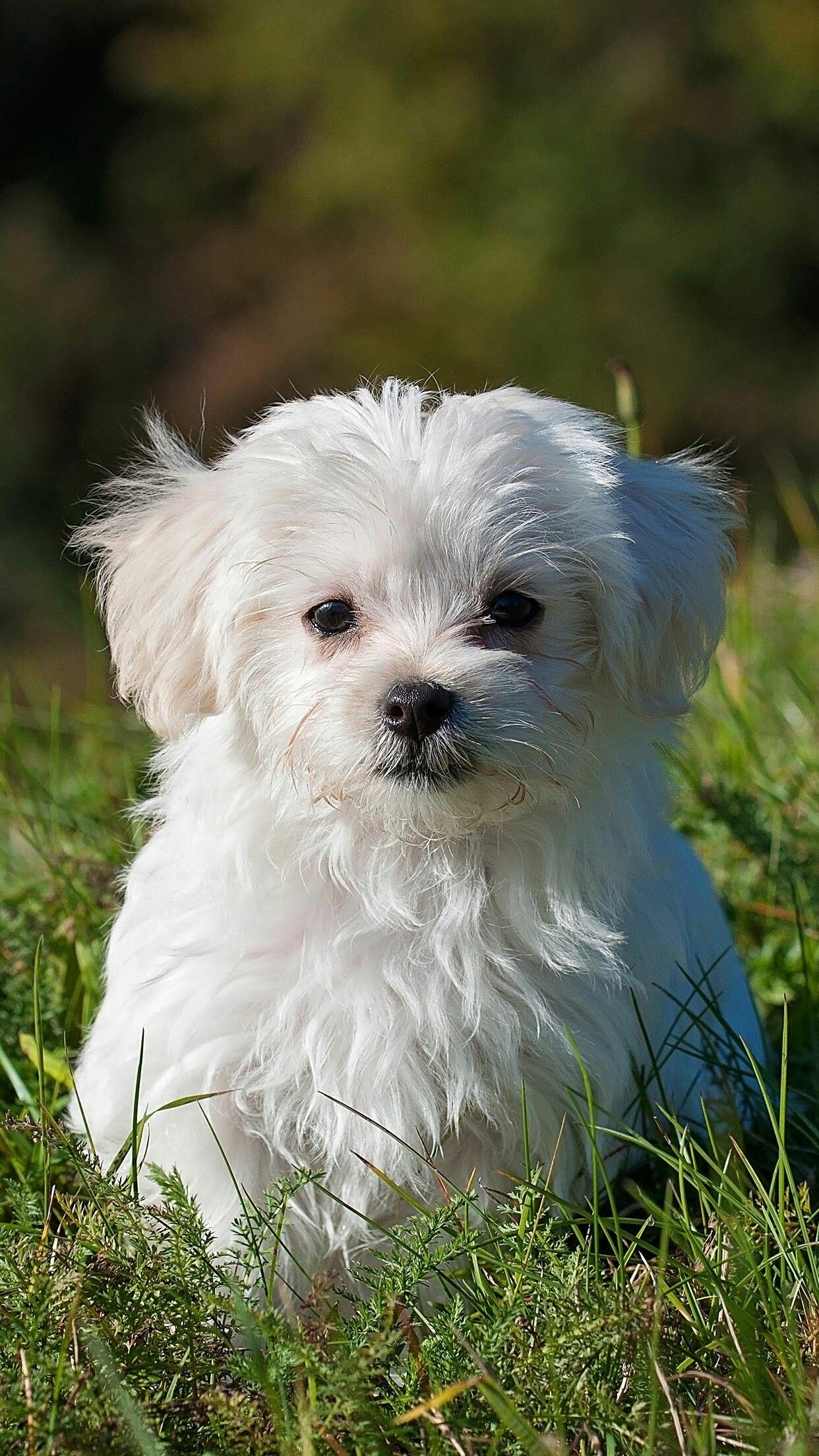 Pin De Dami En Animali Nombres De Perros Cachorros Maltés Nombres Para Perros Machos