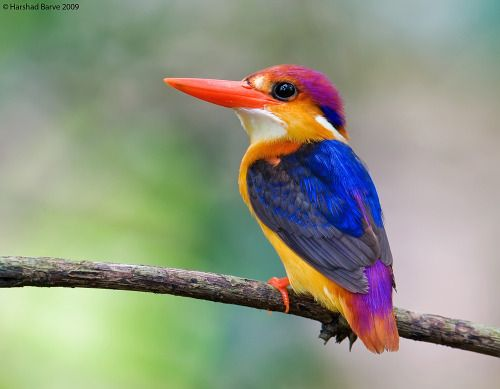 ORIENTAL DWARF KINGFISHER (Ceyx erithaca) also known as the Black Backed Kingfisher ©Harshad Barve • This is a common and widespread resident of lowland forest. • It is found in Bangladesh, Bhutan, Brunei, Cambodia, China, India, Indonesia, Laos,...