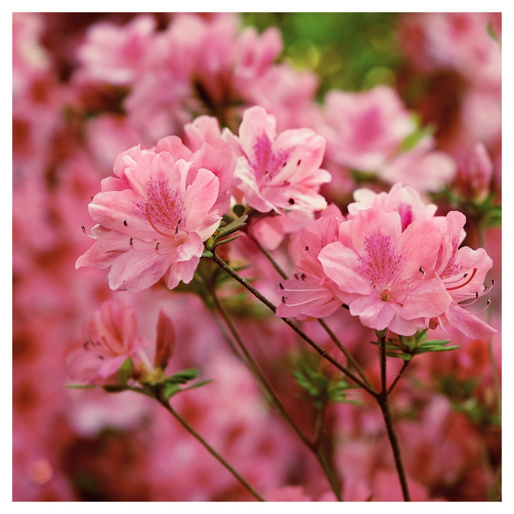 Azalea Hampton Beauty 1pc National Plant Network U S D A Hardiness Zone 7 10 In 2020 Flowering Shrubs Hybrid Tea Roses Azaleas Landscaping