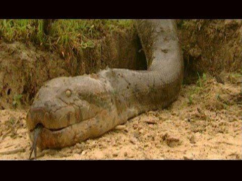 Biggest Snake In The World Giant Anaconda Attacks Giant Python 2