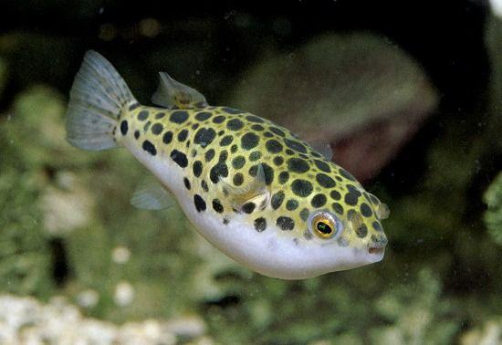 Chaky Aquaristik Puffer Fish Fish Aquarium Fish