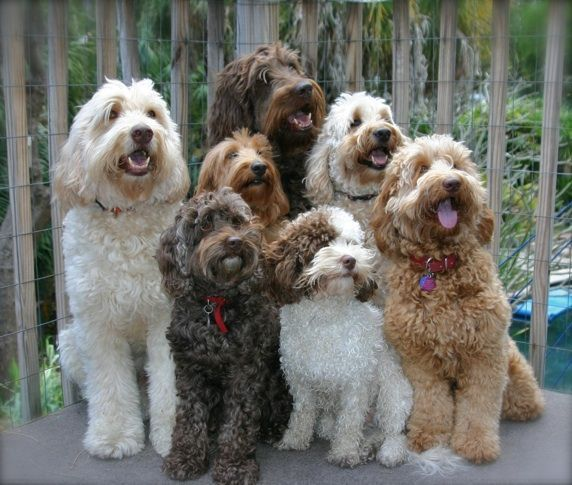 We Re The Doodle Possee Be Afraid Be Very Afraid Labradoodle Cute Animals Dogs