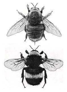 Bumblebee Sketch : bumblebee, sketch, Bumblebee, Sketch, Sketch,, Insect, Illustration
