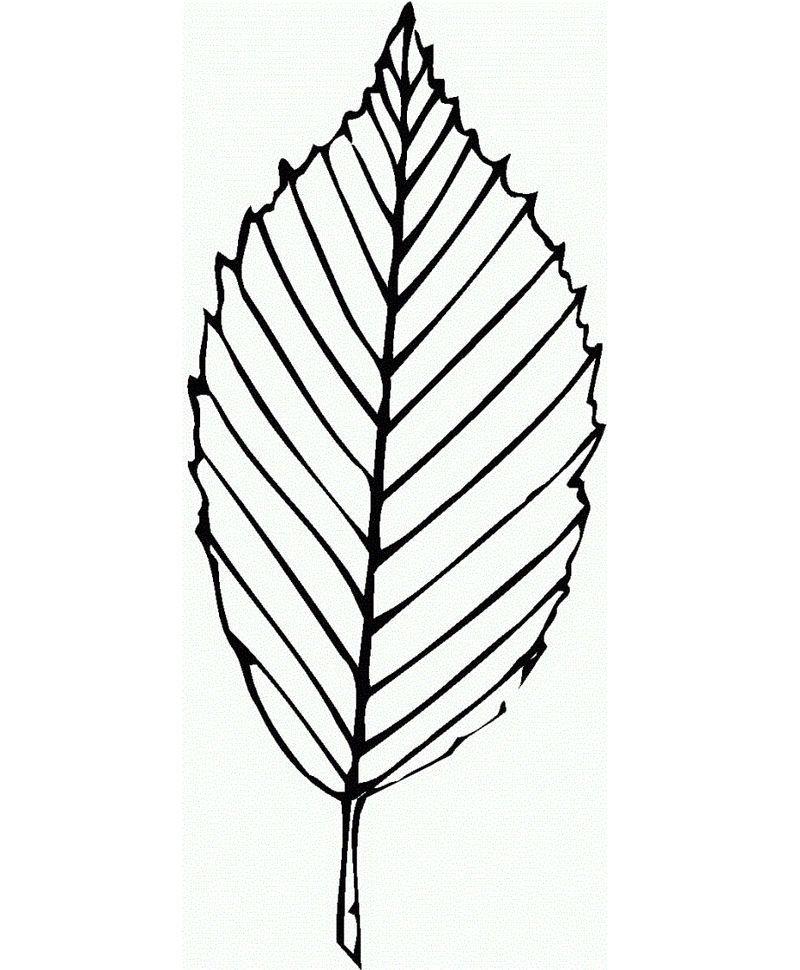 buchenblatt malvorlage