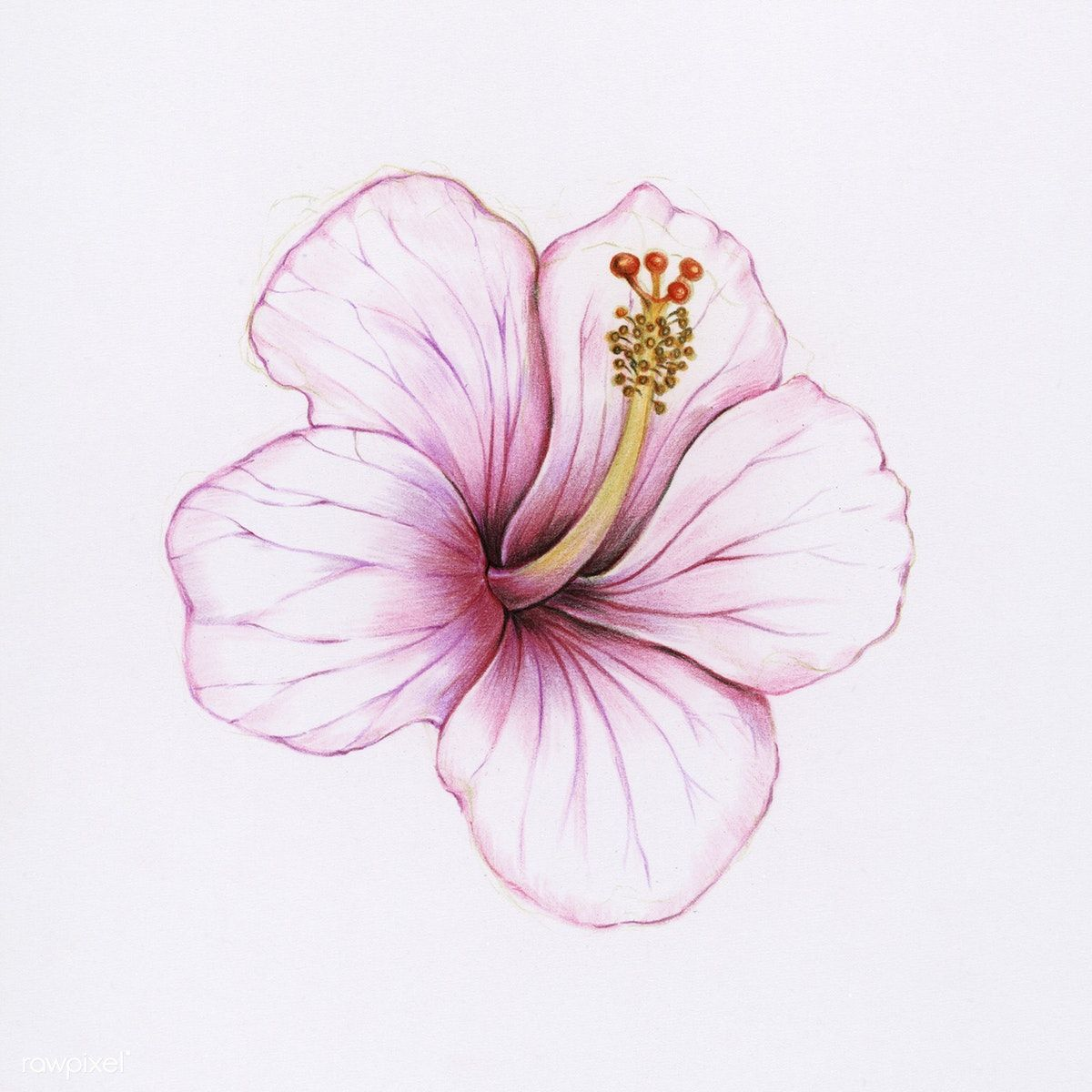 Illustration Of Isolated Hibiscus Flower Watercolor Style Free Image By Rawpixel Com Hibiscus Flower Drawing Watercolor Flowers Hibiscus Drawing