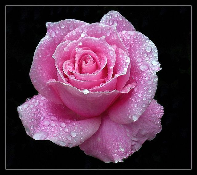 Bewitched Pink Rose with Fresh Raindrops
