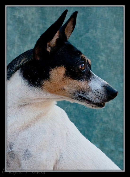 Dog and Puppy Portraits - Candid and Studio Photos | Picture Perfect ...