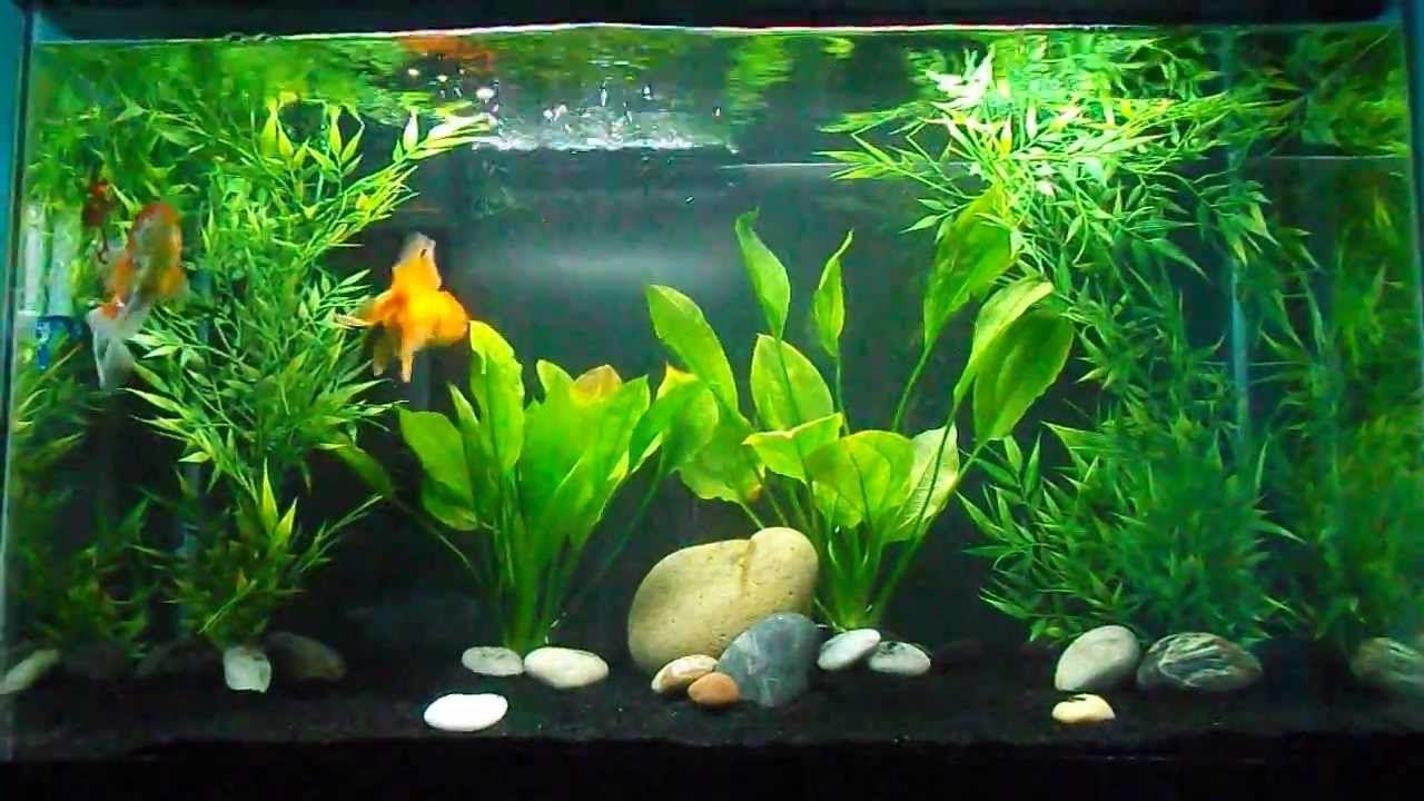 Beautiful Goldfish Tank Goldfish Tank Community Fish Tank Fish Tank