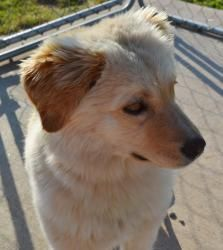 ALEXANDRIA is an adoptable Australian Shepherd Dog in TROUTMAN, NC. Alexandria is an apx 2 year old female who loves to give kisses. She is sweet, soft and cuddly. She weighs under 30 lbs at full g...