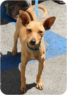 Pharaoh Hound Chihuahua Mix With Images Unique Dog Breeds