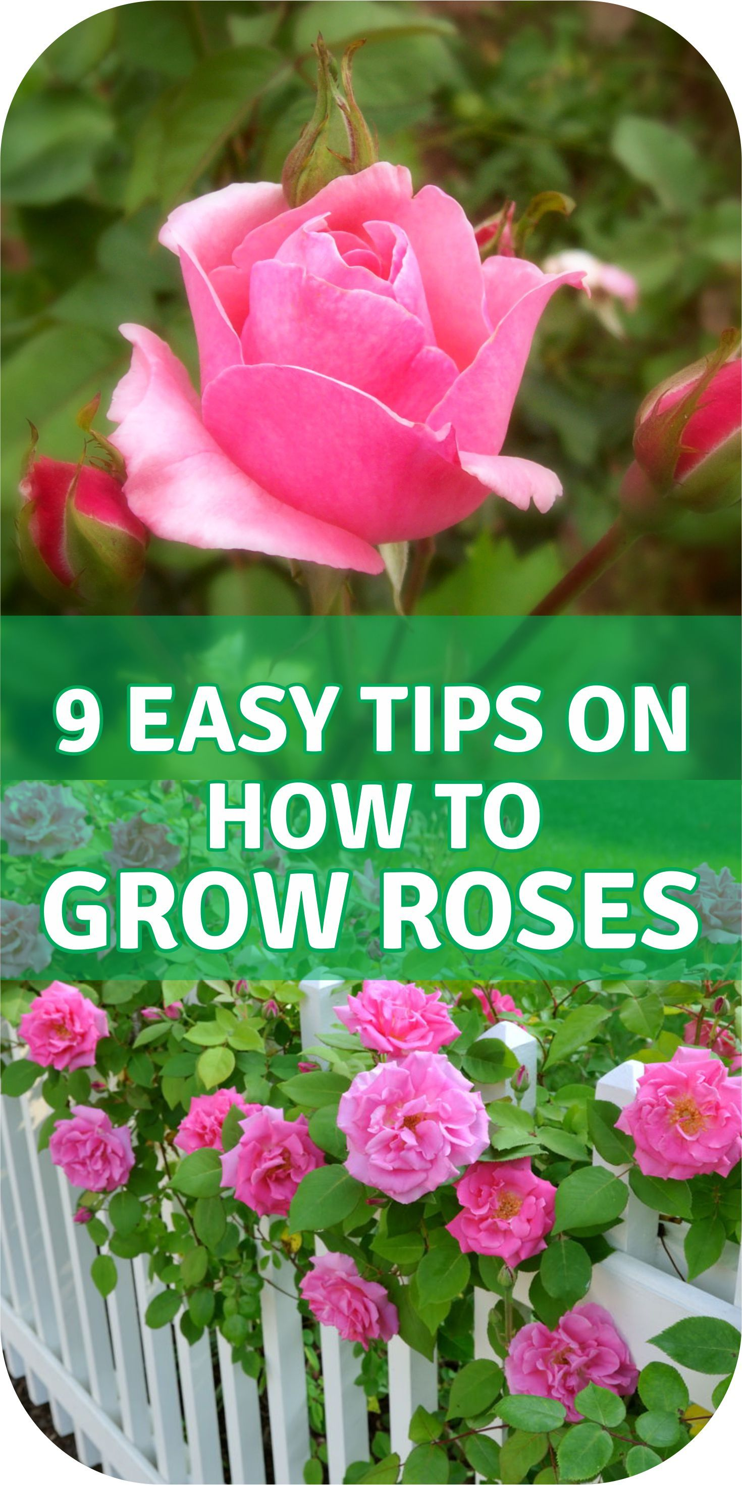 The Zen Of Spring Rose Pruning Rose Cuttings Roses Garden Care Hybrid Tea Roses