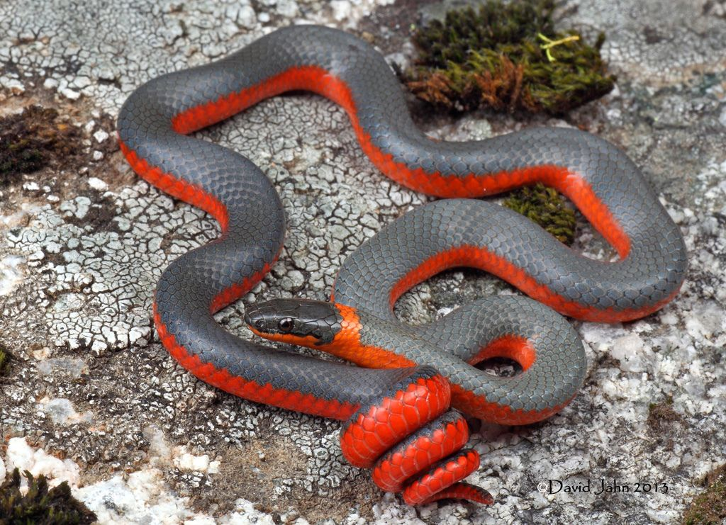 Coral Bellied Ring Neck Snake Snake, Reptiles and
